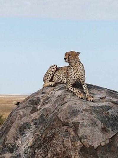 Gepard in freier Wildbahn in Tansania.